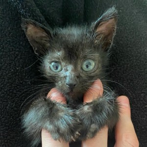 Chickadee, a wee one found running around JFK Airport all by himself. Photo courtesy Cat Café