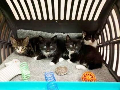 Sarah, Jojo, Nicholas, and Brandon will be among the felines temporarily making their home at the Cafe, where they hope to find their forever home.  Photos courtesy of Brooklyn Cat Cafe