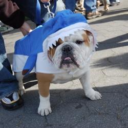 Wrigley: English Bulldog or shark?