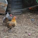 chickens11