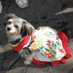 Cricket, a Yorkie mix, does some hula for us