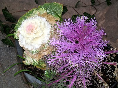 Ornamental Kale The Cabbage That S Eating Brooklyn Heights