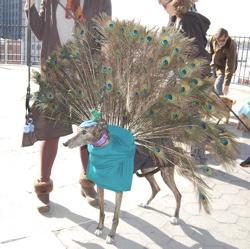 Tippy, a Greyhound/peacock