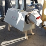 Grover, a German Shepard mix, appears to be dressed as some sort of robot
