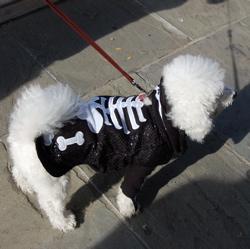 Bichon Frise Scutter as a scary skeleton