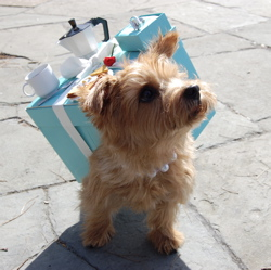 Cissy, a Norfolk terrier, brings us Breakfast at Tiffanys